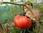 Tomate, à la recherche du goût perdu