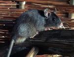 L'attaque des rats