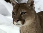 La revanche du cougar