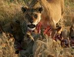 La fierté du Serengeti / La grande tribu des lions