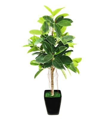 Le caoutchouc l arbre immortel for Caoutchouc plante exterieur