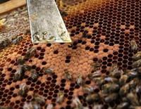 Du miel et des hommes