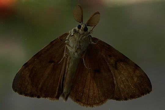 Le papillon de nuit - Gros papillon de nuit dangereux ...