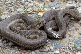 Une Australienne trouve un serpent mortel lové dans une de ses bottes