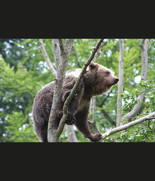Petit ours brun, roi de l'escalade