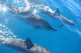 Une nouvelle espèce de dauphin en Australie