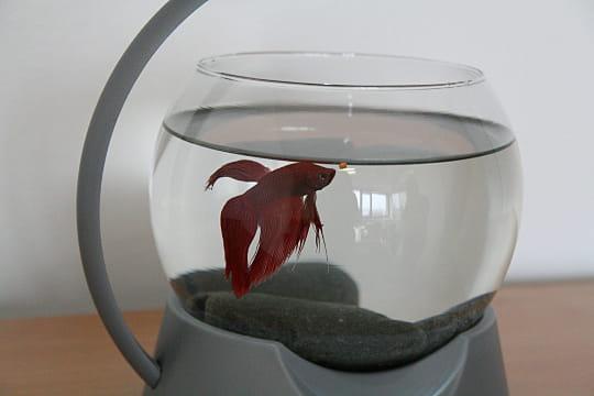 Un poisson combattant à L'Internaute Magazine