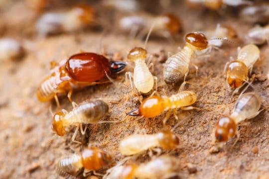 Comment éliminer les termites bois?