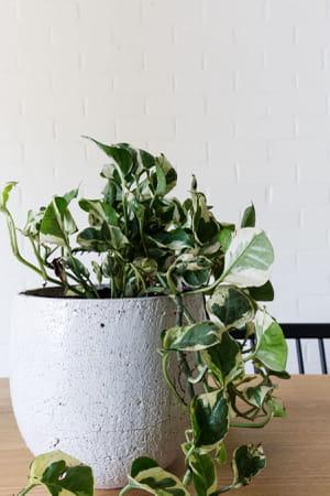 19 plantes grimpantes pour v g taliser votre int rieur for Plante interieur pas cher