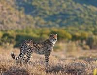 Mission spéciale : Sibella : le guépard miraculé