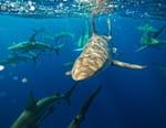 Requins les plus dangereux d'Amérique
