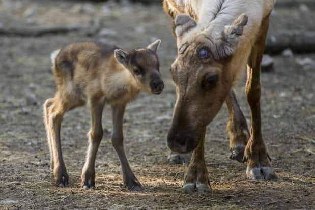 Un faon renne au Parc animalier de Sainte-Croix