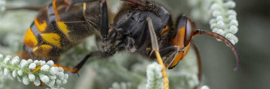 Frelon asiatique: est-il dangereux? Que faire en cas de piqûre ou en présence d'un nid?