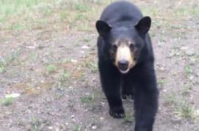 Lors d'un footing, deux Canadiens se font poursuivre par un ours