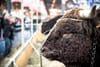 Salon de l'Agriculture2019: Imminence, vache égérie de l'édition 2019