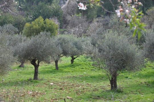 Le jardin de Gethsémani et ses oliviers
