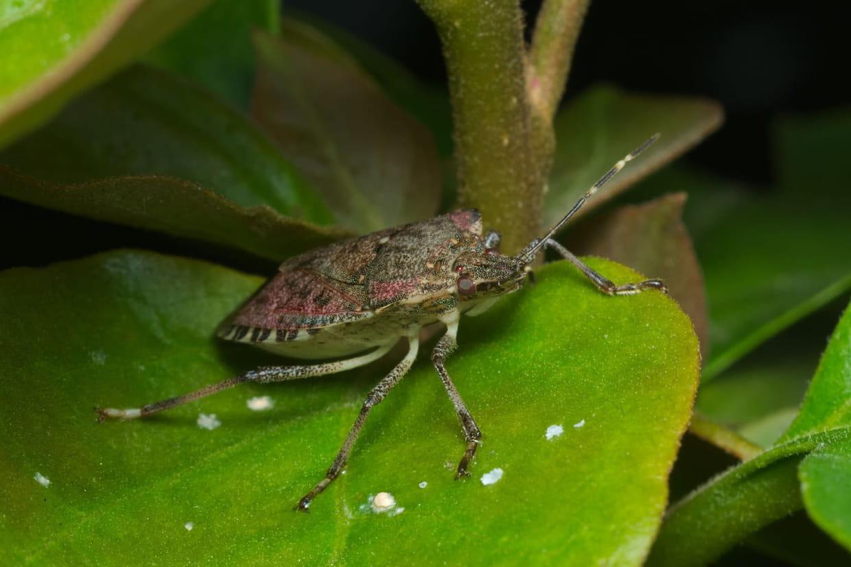 Astuces Naturelles Pour Se Débarrasser Des Fourmis punaise diabolique et verte : une invasion dans les maisons