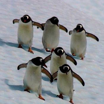 colonie de manchots de la mer de weddell en antarctique