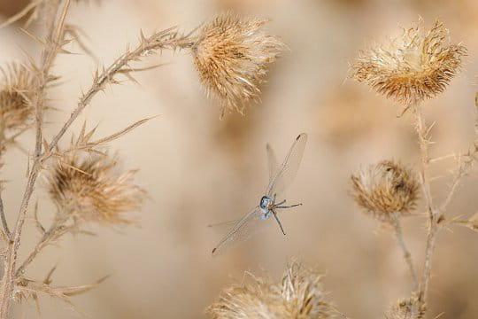 Les libellules, championnes des airs