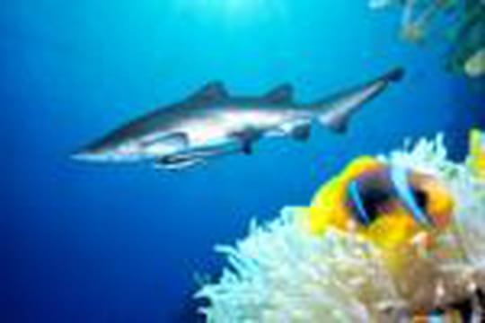 Attaques meurtrières de requins à Charm el-Cheikh