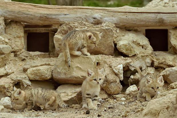 Des chatons des sables au Parc des Félins