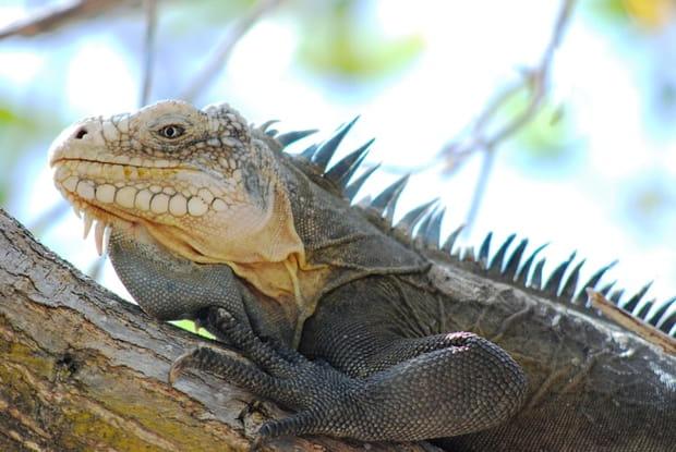 Iguane protégé en Guadeloupe