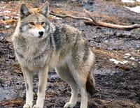 Homme vs animal : Tuée par les coyotes