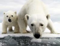 Ours polaire : un espion sur la banquise : Sortir de l'hibernation