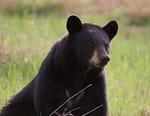 L'ourse noire et le bout du monde