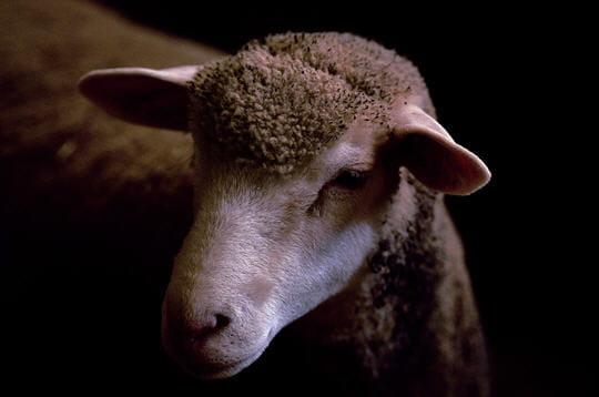 Le mouton Ile-de-France