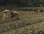 La guerre du thé, les aventures de Robert Fortune