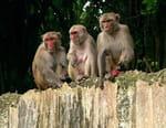 Primates des Caraïbes
