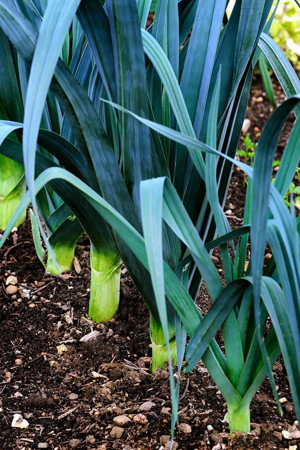 Lutter contre le ver de poireau - Coquille d oeuf dans le jardin ...