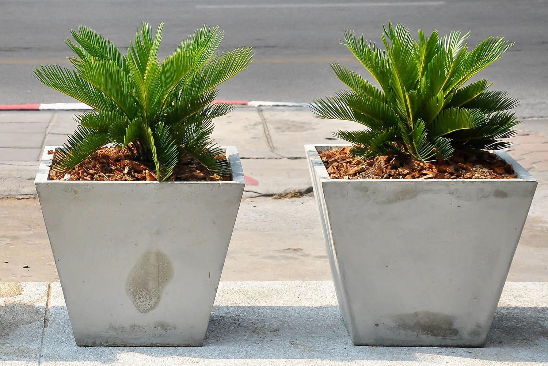 Cycas: plantation, entretien et taille