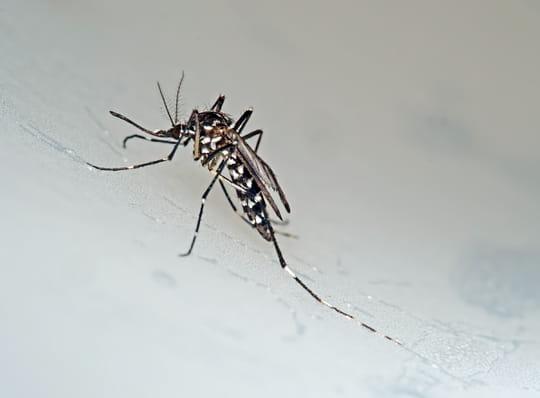 Moustique tigre: où sont les cas de Zika en France, quelles consignes?