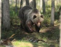 Tueurs nés : Le grizzli