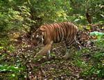 Sur la piste des derniers tigres