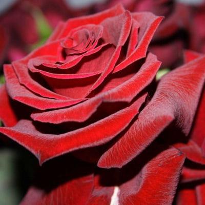 Quelles Fleurs Offrir Pour Une Demande En Mariage