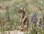 La dynastie des chiens de prairie