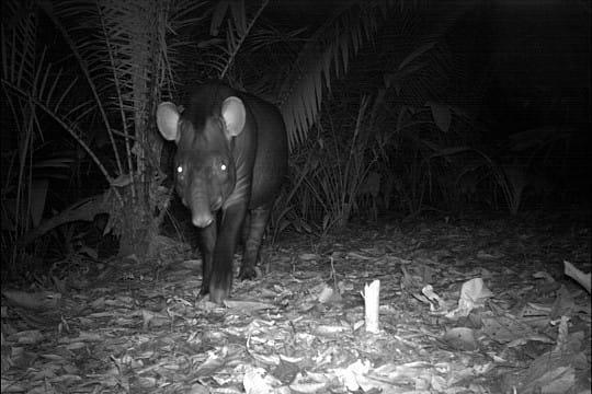 La méfiance du tapir