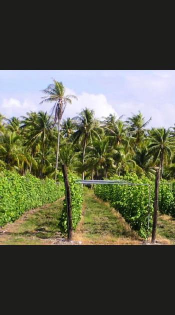 Des grappes sous les tropiques