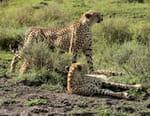 Lions vs guépards