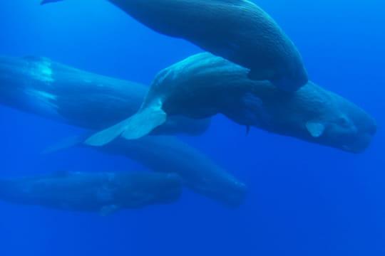 Cachalots femelles