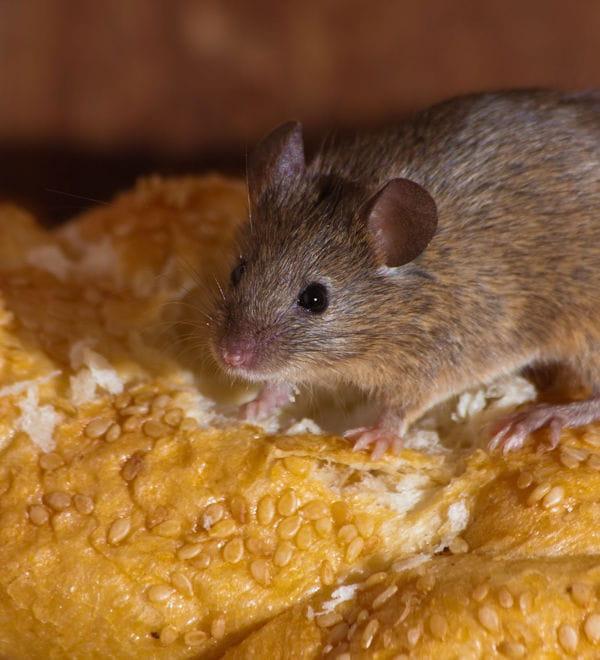 Des ultrasons contre les souris - Solution radicale contre les souris ...