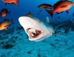 La chasse des requins