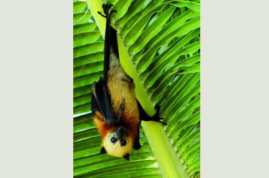 Les chauves-souris, seuls mammifères d'Aldabra