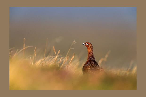Grouse d'Ecosse