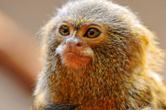 Le plus petit singe du monde: vous allez adorer le ouistiti pygmée!