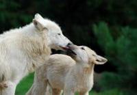 photo 4 christelle milesi tendresse des loups redim