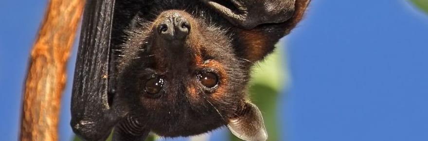 100000chauves-souris ont envahi une petite ville d'Australie